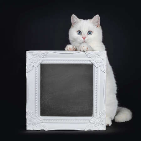 Cute red silver shaded cameo point British Shorthair sitting behind a white frame filled with chalkboard. Front paws on frame, looking at lens with blue eyes. Isolated on black background. Stockfoto