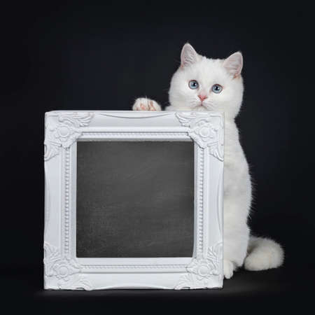 Cute red silver shaded cameo point British Shorthair sitting behind a white frame filled with chalkboard. Front paw on frame, looking at lens with blue eyes. Isolated on black background.