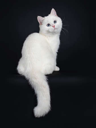Cute red silver shaded cameo point British Shorthair sitting backwards, looking over shoulder to camera with blue eyes, Isolated on black background. Tail hanging down from edge. Stockfoto