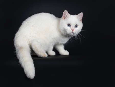 Cute red silver shaded cameo point British Shorthair standing side ways, looking at camera with blue eyes, Isolated on black background. Tail hanging over edge.
