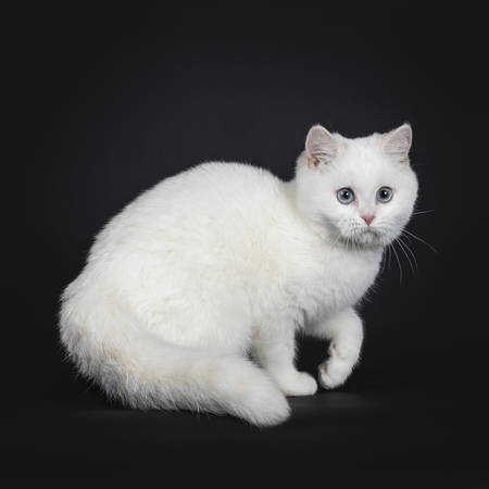 Cute red silver shaded cameo point British Shorthair standing  turning side ways, looking besides the camera with blue eyes and one paw lifted. Isolated on black background.