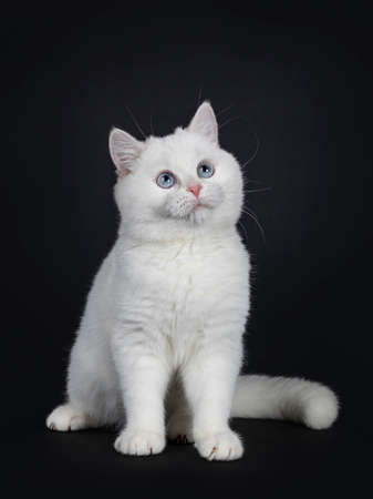 ute red silver shaded cameo point British Shorthair sitting half side ways, looking up with blue eyes Isolated on black background. Tail beside body.