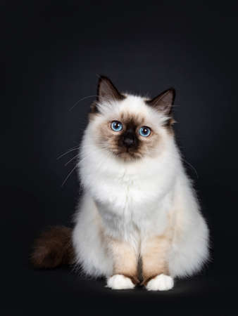 Cute seal point Sacred Birman cat kitten, sitting straight up facing front, looking at camera with blue eyes, Tail berry body. Isolated on black background. Stockfoto