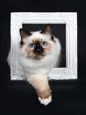 Cute seal point Sacred Birman cat kitten, laying with one front paw through a white photo frame facing front, looking at camera with blue eyes. Isolated on black background. Stockfoto