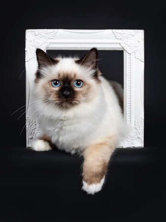 Cute seal point Sacred Birman cat kitten, laying with both front paws through a white photo frame facing front, looking at camera with blue eyes. Isolated on black background.