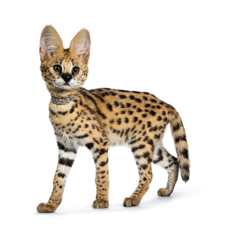 Cute 4 months young Serval cat kitten standing, walking side ways, wearing shiny collar. Looking beside lens with sweet curious eyes. Tail hanging down. Isolated on white background. Stockfoto