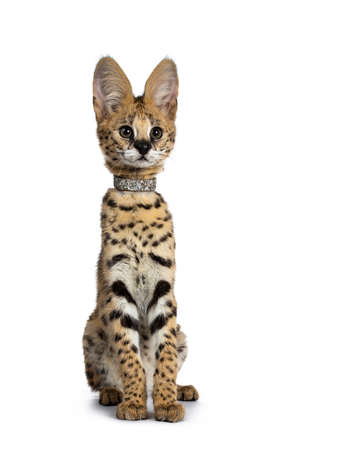 Cute 4 months young Serval cat kitten sitting perfectly straight up, wearing shiny collar. Looking straight ahead with lens with sweet curious eyes. Isolated on white background. Stockfoto