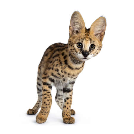 Cute 4 months young Serval cat kitten standing, turning facing front, wearing shiny collar. Looking beside lens with sweet focussed eyes. Tail beside body. Isolated on white background. Stockfoto