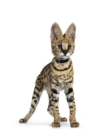 Cute 6 months young Serval cat kitten standing, walking facing front wearing black collar. Looking at lens with sweet curious eyes. Tail hanging down. Isolated on white background. Stockfoto