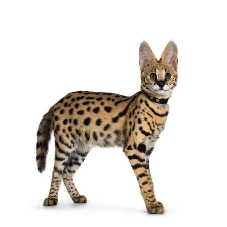 Cute 6 months young Serval cat kitten standing, walking side ways, wearing black collar. Looking at lens with sweet curious eyes. Tail hanging down. Isolated on white background. - Image