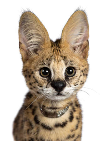 Head shot of cute 4 months young serval cat kitten sitting straight up, wearing shiny collar. Looking at lens with sweet eyes. Isolated on white background.
