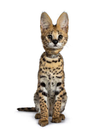 Cute 4 months young serval cat kitten sitting straight up, wearing shiny collar. Looking beside lens with sweet eyes. Tail beside body. Isolated on white background.