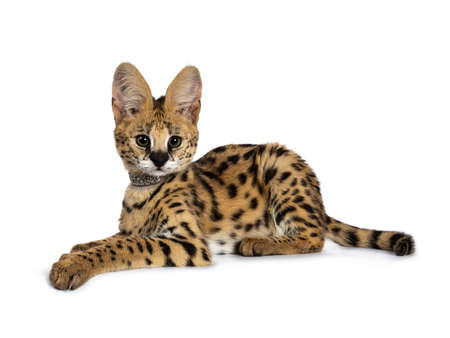 Cute 4 months young serval cat kitten laying down side ways, wearing shiny collar. Looking at lens with sweet eyes. Tail beside body. Isolated on white background. Stockfoto