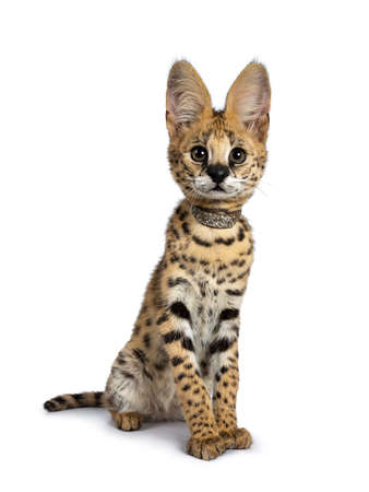 Cute 4 months young serval cat kitten sitting slightly side ways straight up, wearing shiny collar. Looking at lens with sweet eyes. Tail beside body. Isolated on white background.