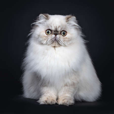 Cute fluffy tabby point Persian cat  kitten sitting facing front. Looking at camera with big round eyes. Isolated on black background Stockfoto