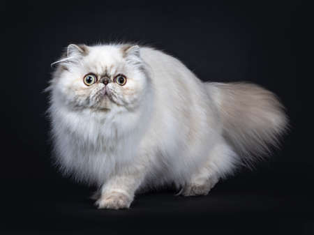 Cute fluffy tabby point Persian cat  kitten standing, walking side ways. Looking at camera with big round eyes. Isolated on black background