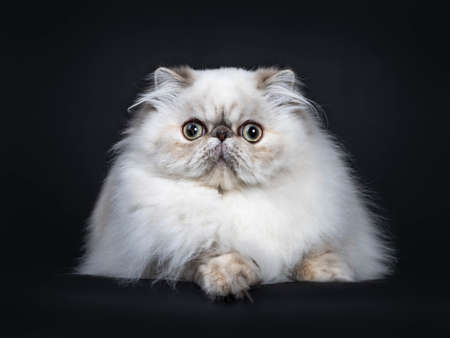 Cute fluffy tabby point Persian cat  kitten laying down facing front. Looking at camera with big round eyes. Isolated on black background.
