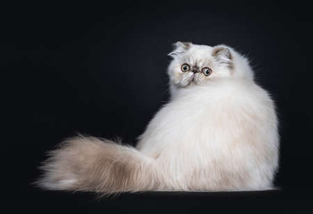 Cute fluffy tabby point Persian cat  kitten sitting backwards. Looking over shoulder at camera with big round eyes. Isolated on black background. Stockfoto