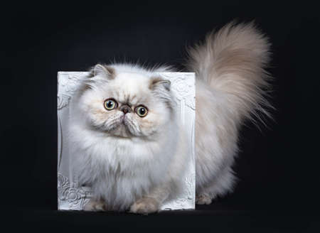 Cute fluffy tabby point Persian cat  kitten standing throught white photo frame. Looking at camera with big round eyes. Isolated on black background. Tail fierce in air.