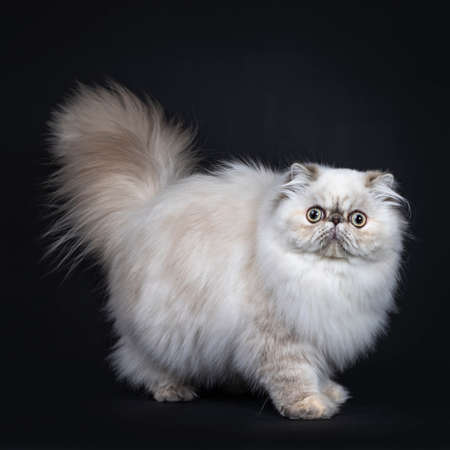 Cute fluffy tabby point Persian cat  kitten standing, walking side ways. Looking at camera with big round eyes. Tail fierce in air. Isolated on black background