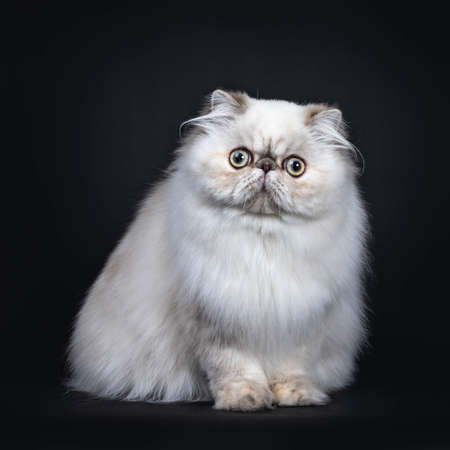 Cute fluffy tabby point Persian cat  kitten sitting facing front. Looking at camera with big round eyes. Isolated on black background.