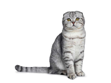 Handsome young silver tabby Scottish Fold cat sitting on kitten sitting side looking at camera with yellow eyes. Isolated on a white background. Tail behind body. Stockfoto