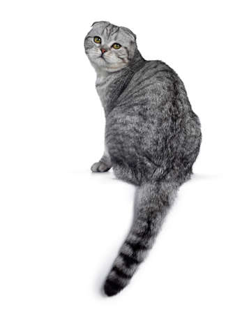 Handsome young silver tabby Scottish Fold cat kitten sitting backwards, looking over shoulder at camera with yellow eyes. Isolated on a white background. Tail hanging down from edge.