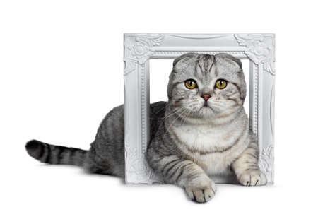Handsome young silver tabby Scottish Fold cat kitten laying side view through a white photo frame looking at camera with yellow eyes. Isolated on a white background. Tail behind body.