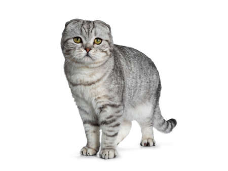 Handsome young silver tabby Scottish Fold cat kitten standing side facing facing front, looking at camera with yellow eyes. Isolated on a white background. Tail hanging down.
