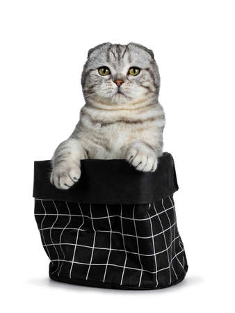 Handsome young silver tabby Scottish Fold cat sitting in black paper bag with front paws on the edge. Looking at camera with yellow eyes. Isolated on a white background. Stockfoto