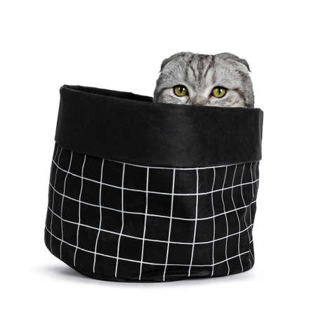 Handsome young silver tabby Scottish Fold cat sitting in black paper bag with eats just peeping, looking over the edge. Looking at camera with yellow eyes. Isolated on a white background.