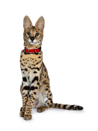 Young Serval cat kitten sitting straight up wearing red collar, looking at camera with tilted head. Isolated on white background. Stockfoto