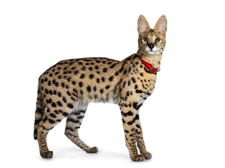 Young Serval cat kitten standing side ways wearing red collar, looking to camera. Isolated on white background.