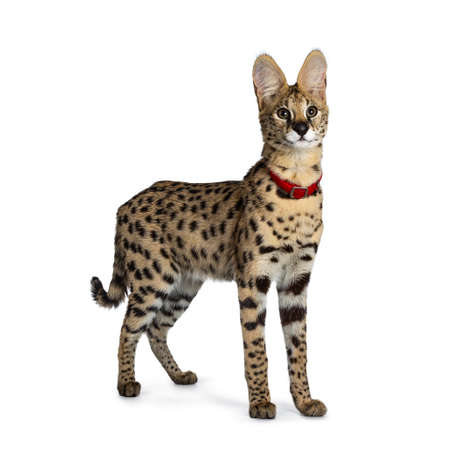 Young Serval cat kitten standing side ways wearing red collar, looking beside camera. Isolated on white background.