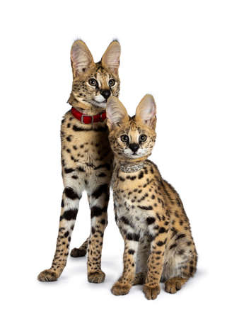 Duo or young Serval cat sitting kittens straight up wearing collar, looking at and beside camera. Isolated on white background.