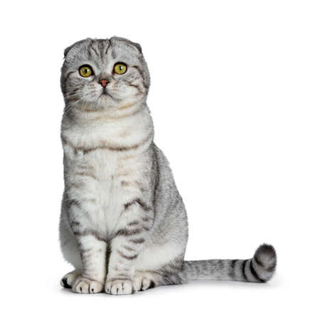 Cute young silver tabby Scottish Fold cat kitten sitting straight up looking at camera with yellow eyes. Isolated on a white background. Tail beside body. Stockfoto