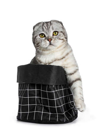 Cute young silver tabby Scottish Fold cat sitting in black paper bag looking at camera with yellow eyes. Isolated on a white background. One paw hanging over edge. Stockfoto