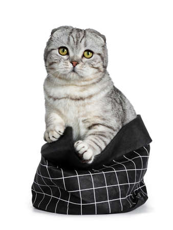 Cute young silver tabby Scottish Fold cat sitting in black paper bag looking at camera with yellow eyes. Isolated on a white background. Both paws on edge.