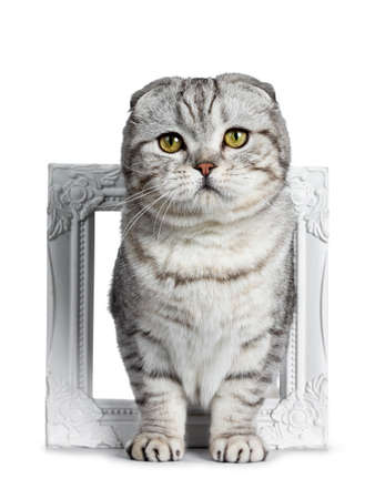 Cute young silver tabby Scottish Fold cat kitten standing facing front through white photo frame looking at camera with yellow eyes. Isolated on a white background.