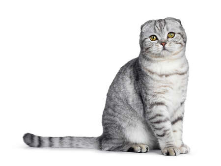 Cute young silver tabby Scottish Fold cat sitting on his side looking straight at camera with yellow eyes. Isolated on a white background. Tail beside body.