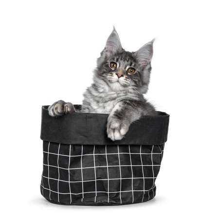 Handsome cute and smiling blue tabby coon cat kitten sitting in black paper bag, looking over edge with brown eyes to camera. Paws hanging over edge bag. Isolated on white background.