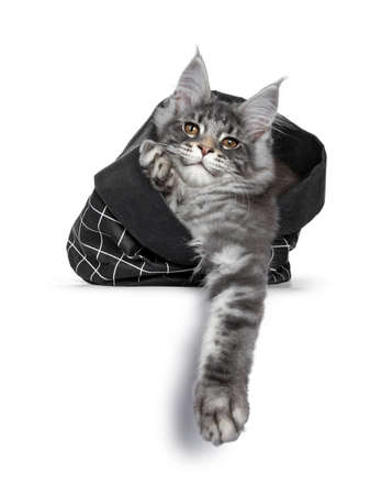 Handsome cute and smiling blue tabby coon cat kitten laying  sitting in black paper bag, looking over edge with brown eyes to camera. Paws hanging out of bag. Isolated on white background.