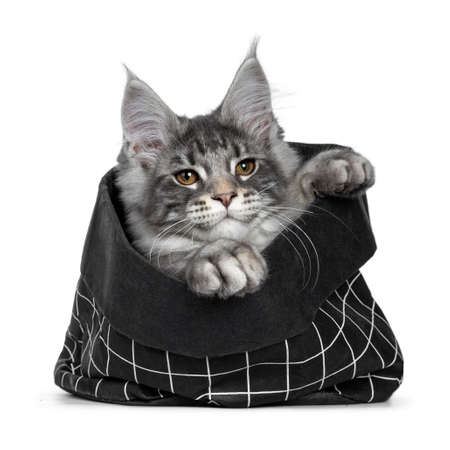 Handsome cute and smiling blue tabby coon cat kitten laying  sitting in black paper bag, looking over edge with brown eyes to camera. Paws hanging over edge bag. Isolated on white background.