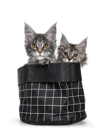 Two cute baby tortie and blue tabby Maine Coon cat kittens in black paper bag, looking over edge with orange / brown eyes to camera. One paw over edge. isolated on white background.
