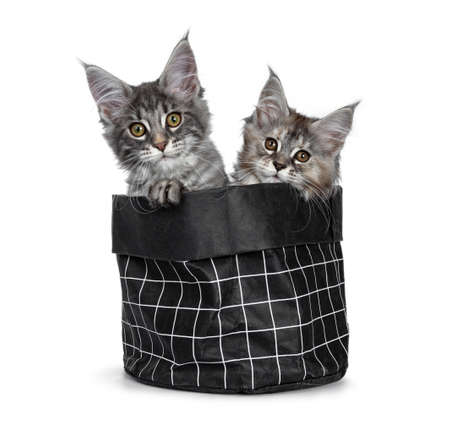 Two cute baby tortie and blue tabby Maine Coon cat kittens in black paper bag, looking over edge with orange  brown eyes to camera. One paw over edge. isolated on white background.