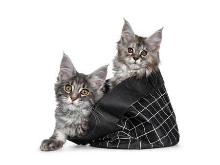 Two cute baby tortie and blue tabby Maine Coon cat kittens laying  sitting in black paper bag, looking over edge with orange  brown eyes to camera. One paw outside bag. Isolated on white background. Stockfoto