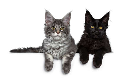 Duo or two cute blue tabby and solid black Maine Coon cat kittens laying beside each other facing front. Looking at camera. Isolated on white background.