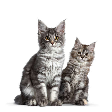 Duo or two cute blue tabby and tortie Maine Coon cat kittens sitting beside each other facing front. Looking at camera. Isolated on white background.