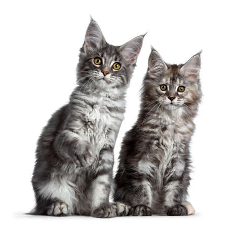 Duo or two cute blue tabby and tortie Maine Coon cat kittens sitting beside each other facing front. Looking at camera. Isolated on white background. One paw lifted.