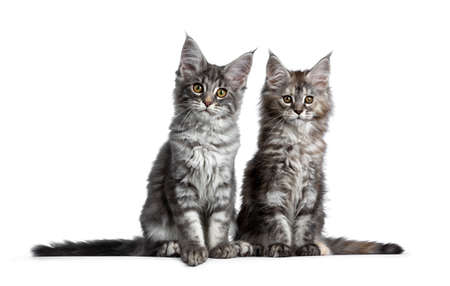 Duo or two cute blue tabby and tortie Maine Coon cat kittens sitting beside each other facing front. Looking at camera. Isolated on white background. Tails stretched at the sides. Stockfoto